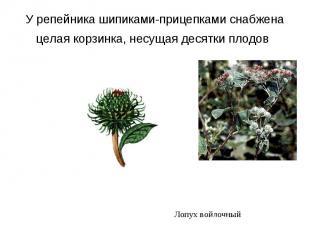 У репейника шипиками-прицепками снабжена целая корзинка, несущая десятки плодов