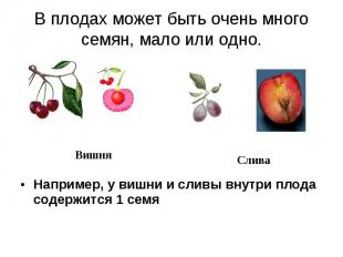 В плодах может быть очень много семян, мало или одно. Например, у вишни и сливы
