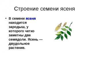 Строение семени ясеня В семени ясеня находится зародыш, у которого четко заметны