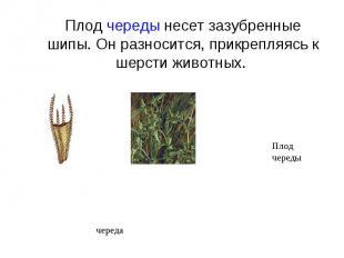 Плод череды несет зазубренные шипы. Он разносится, прикрепляясь к шерсти животны