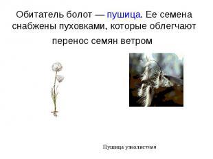 Обитатель болот — пушица. Ее семена снабжены пуховками, которые облегчают перено