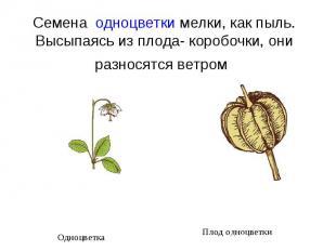 Семена одноцветки мелки, как пыль. Высыпаясь из плода- коробочки, они разносятс