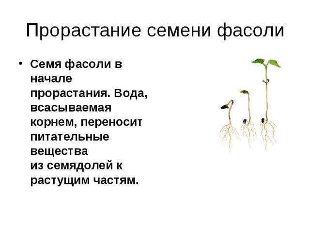 Прорастание семени фасоли Семя фасоли в начале прорастания. Вода, всасываемая корнем, переносит питательные вещества изсемядолей к растущим частям.