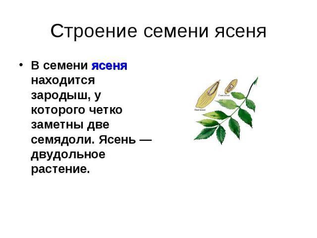 Строение семени ясеня В семени ясеня находится зародыш, у которого четко заметны две семядоли. Ясень—двудольное растение.
