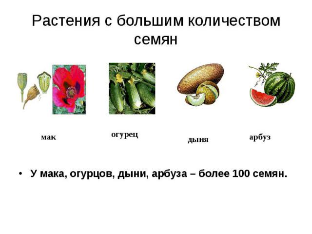 Растения с большим количеством семян У мака, огурцов, дыни, арбуза – более 100 семян.