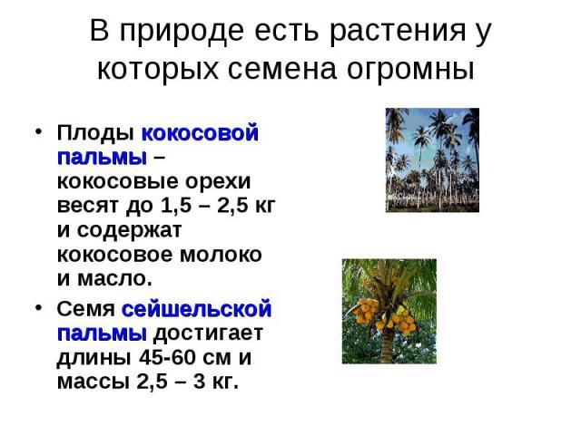 В природе есть растения у которых семена огромны Плоды кокосовой пальмы – кокосовые орехи весят до 1,5 – 2,5 кг и содержат кокосовое молоко и масло.Семя сейшельской пальмы достигает длины 45-60 см и массы 2,5 – 3 кг.