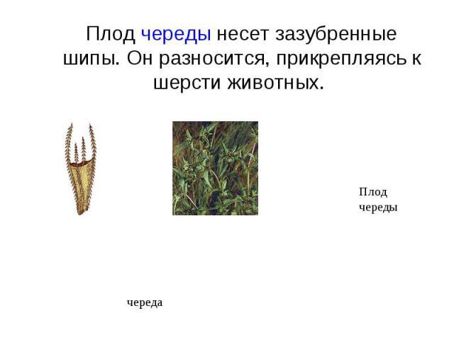 Плод череды несет зазубренные шипы. Он разносится, прикрепляясь к шерсти животных.