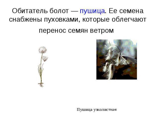 Обитатель болот — пушица. Ее семена снабжены пуховками, которые облегчают перенос семян ветром