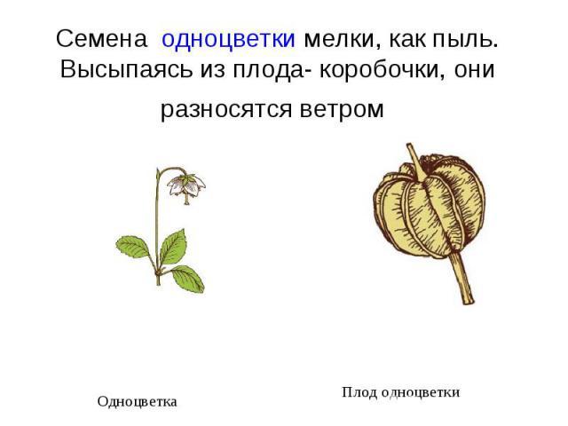 Семена одноцветки мелки, как пыль. Высыпаясь из плода- коробочки, они разносятся ветром