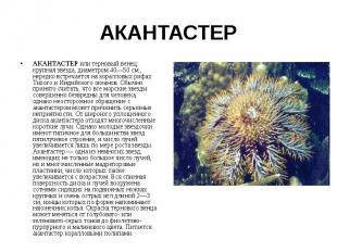 АКАНТАСТЕР АКАНТАСТЕР или терновый венец, крупная звезда, диаметром 40—50 см., н