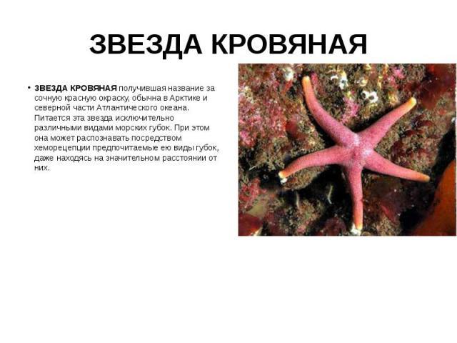 ЗВЕЗДА КРОВЯНАЯ ЗВЕЗДА КРОВЯНАЯ получившая название за сочную красную окраску, обычна в Арктике и северной части Атлантического океана. Питается эта звезда исключительно различными видами морских губок. При этом она может распознавать посредством хе…