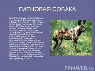 ГИЕНОВАЯ СОБАКА Гиеновая собака, млекопитающее ceм. волчьих. Распространена в Аф