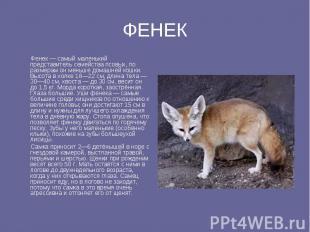 ФЕНЕК Фенек — самый маленький представитель семейства псовых, по размерам он мен
