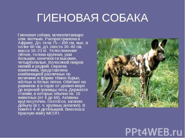 ГИЕНОВАЯ СОБАКА Гиеновая собака, млекопитающее ceм. волчьих. Распространена в Африке. Дл. тела 75—100 см, выс. в холке 60 см, дл. хвоста 30–40 см, масса 16–23 кг. Телосложение лёгкое, голова крупная, уши большие, конечности высокие, четырёхпалые. Во…