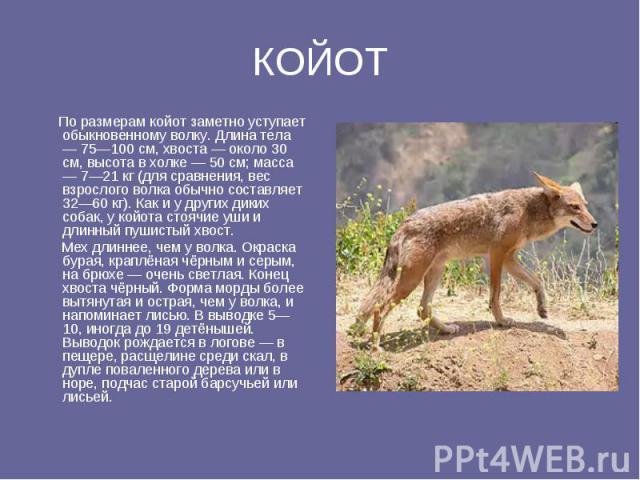 КОЙОТ По размерам койот заметно уступает обыкновенному волку. Длина тела — 75—100 см, хвоста — около 30 см, высота в холке — 50 см; масса — 7—21 кг (для сравнения, вес взрослого волка обычно составляет 32—60 кг). Как и у других диких собак, у койота…