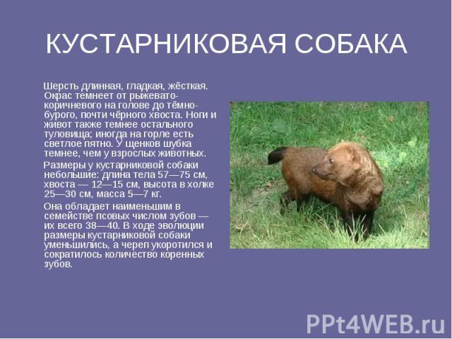 КУСТАРНИКОВАЯ СОБАКА Шерсть длинная, гладкая, жёсткая. Окрас темнеет от рыжевато-коричневого на голове до тёмно-бурого, почти чёрного хвоста. Ноги и живот также темнее остального туловища; иногда на горле есть светлое пятно. У щенков шубка темнее, ч…