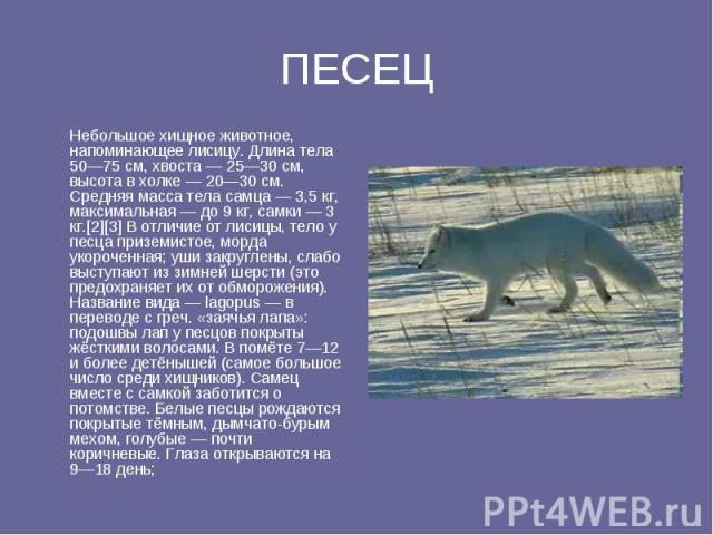 ПЕСЕЦ Небольшое хищное животное, напоминающее лисицу. Длина тела 50—75 см, хвоста — 25—30 см, высота в холке — 20—30 см. Средняя масса тела самца — 3,5 кг, максимальная — до 9 кг, самки — 3 кг.[2][3] В отличие от лисицы, тело у песца приземистое, мо…