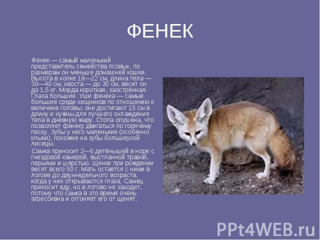 ФЕНЕК Фенек — самый маленький представитель семейства псовых, по размерам он меньше домашней кошки. Высота в холке 18—22 см, длина тела — 30—40 см, хвоста — до 30 см, весит он до 1,5 кг. Морда короткая, заострённая. Глаза большие. Уши фенека — самые…
