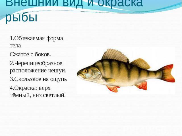 Внешний вид и окраска рыбы 1.Обтекаемая форма телаСжатое с боков.2.Черепицеобразное расположение чешуи.3.Скользкое на ощупь4.Окраска: верх тёмный, низ светлый.
