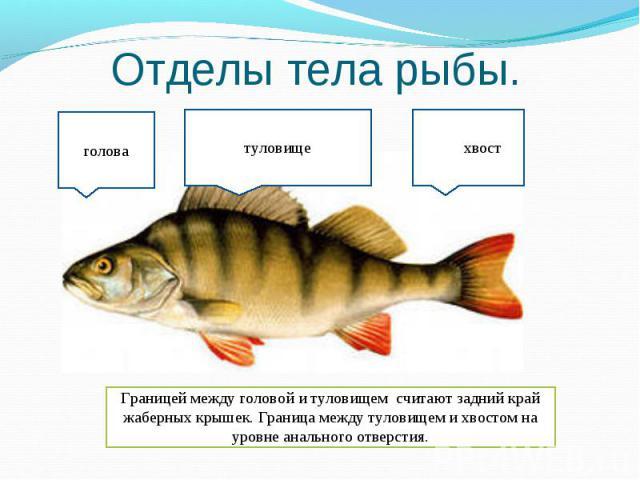 Отделы тела рыбы. Границей между головой и туловищем считают задний край жаберных крышек. Граница между туловищем и хвостом на уровне анального отверстия.