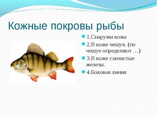 Кожные покровы рыбы 1.Снаружи кожа2.В коже чешуя. (по чешуе определяют …)3.В коже слизистые железы.4.Боковая линия