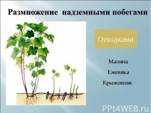 Размножение надземными побегамиОтводками МалинаЕжевикаКрыжовник
