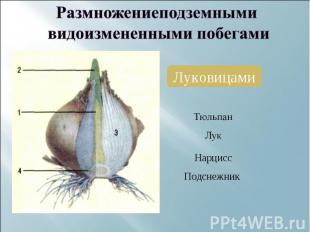 Размножениеподземными видоизмененными побегамиЛуковицами НарциссПодснежник