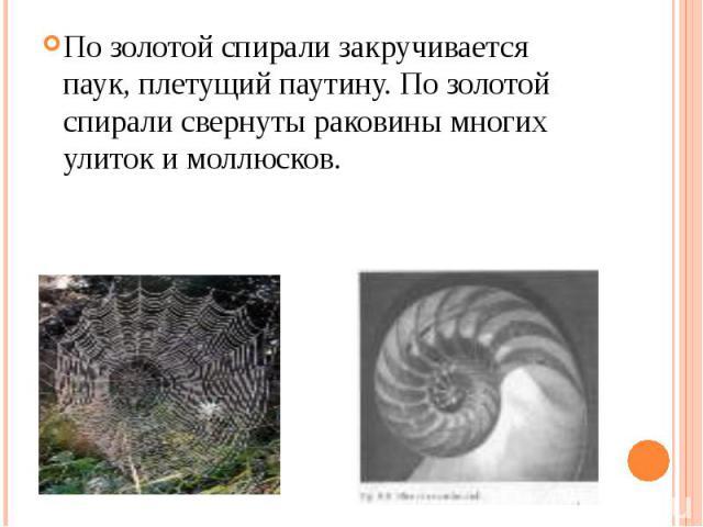 По золотой спирали закручивается паук, плетущий паутину. По золотой спирали свернуты раковины многих улиток и моллюсков.