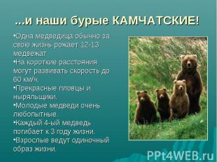 ...и наши бурые КАМЧАТСКИЕ! Одна медведица обычно за свою жизнь рожает 12-13 мед