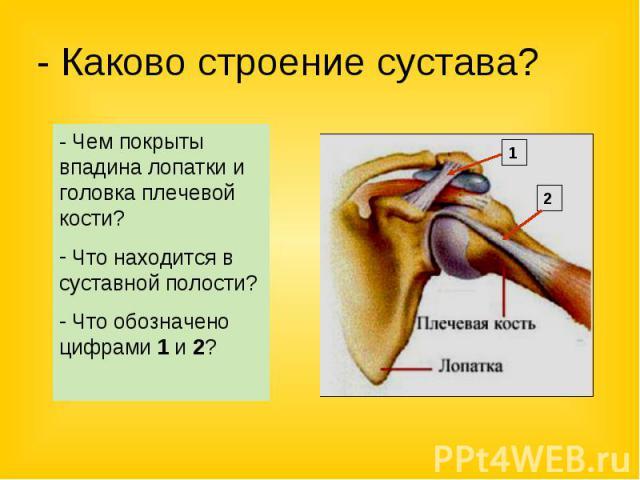 - Каково строение сустава? - Чем покрыты впадина лопатки и головка плечевой кости? Что находится в суставной полости? Что обозначено цифрами 1 и 2?