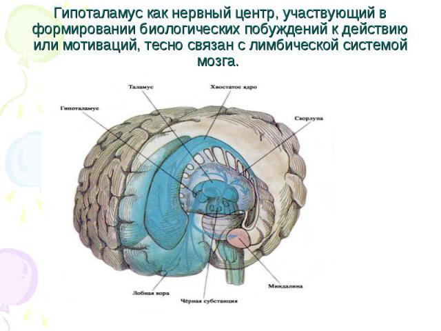 Гипоталамус как нервный центр, участвующий в формировании биологических побуждений к действию или мотиваций, тесно связан с лимбической системой мозга.