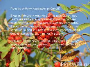 Почему рябину называют рябиной?Вишни, яблони и многие другие деревья в пору цвет