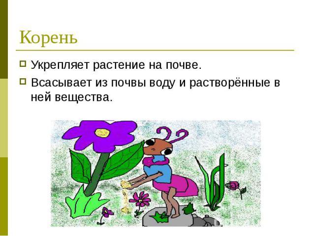 Укрепляет растение на почве. Укрепляет растение на почве. Всасывает из почвы воду и растворённые в ней вещества.