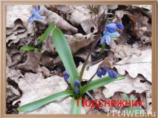 О каком цветке идет речь? Идет красавица Весна... А под сосной Полузащитный, чут