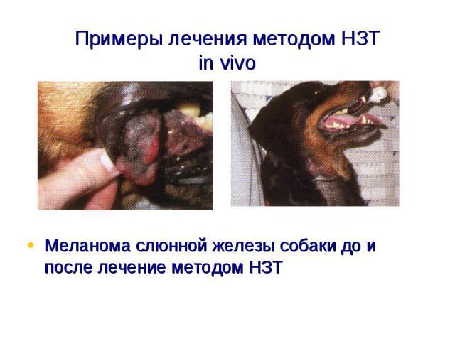 Примеры лечения методом НЗТin vivoМеланома слюнной железы собаки до и после лечение методом НЗТ
