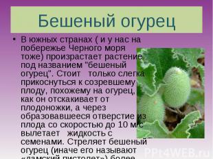 Бешеный огурец В южных странах ( и у нас на побережье Черного моря тоже) произра