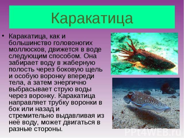 Каракатица, как и большинство головоногих моллюсков, движется в воде следующим способом. Она забирает воду в жаберную полость через боковую щель и особую воронку впереди тела, а затем энергично выбрасывает струю воды через воронку. Каракатица направ…