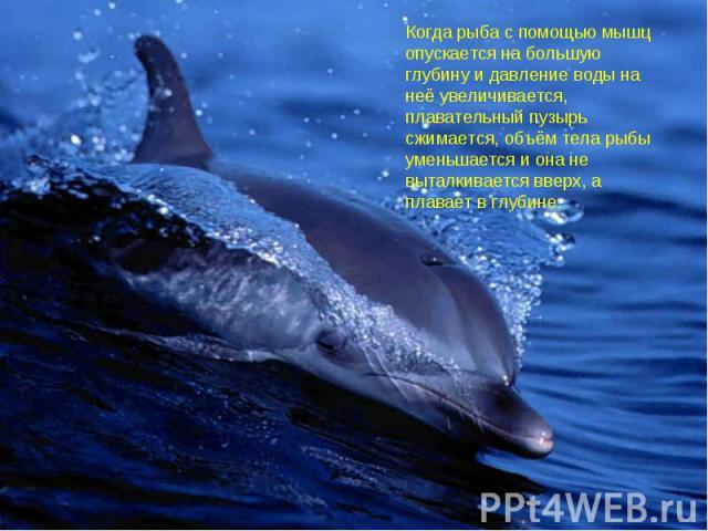 Когда рыба с помощью мышц опускается на большую глубину и давление воды на неё увеличивается, плавательный пузырь сжимается, объём тела рыбы уменьшается и она не выталкивается вверх, а плавает в глубине.