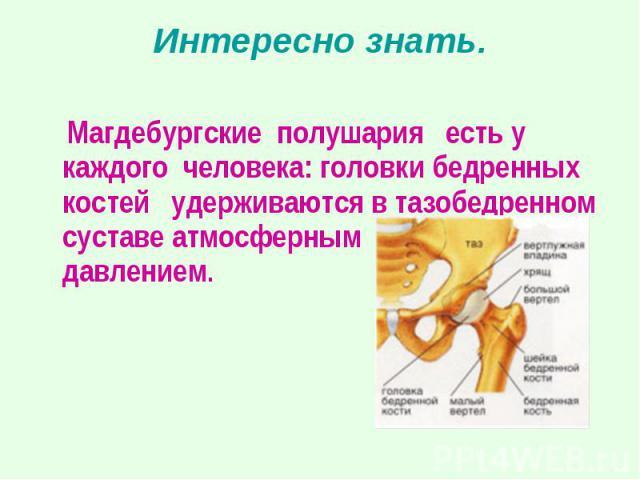 Магдебургские полушария есть у каждого человека: головки бедренных костей удерживаются в тазобедренном суставе атмосферным давлением.