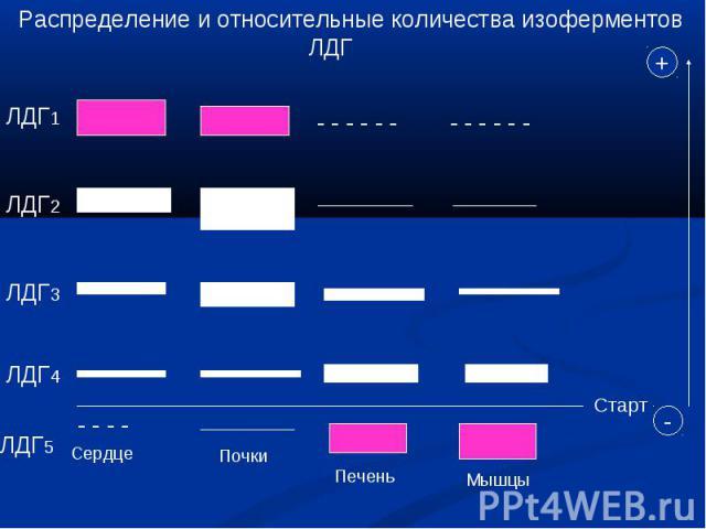 Распределение и относительные количества изоферментов ЛДГ