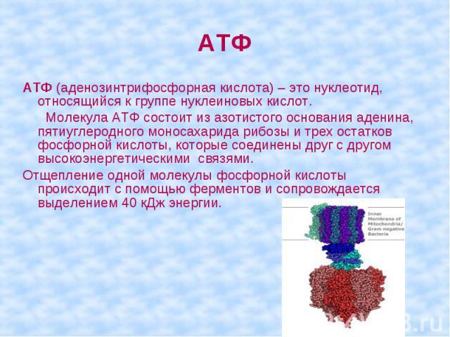 АТФ (аденозинтрифосфорная кислота) – это нуклеотид, относящийся к группе нуклеиновых кислот. Молекула АТФ состоит из азотистого основания аденина, пятиуглеродного моносахарида рибозы и трех остатков фосфорной кислоты, которые соединены друг с другом…