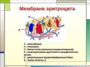 Мембрана эритроцита 1 - гликофорин, 2 - спектрин, 3 - белок типа миозина (сократ