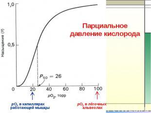 Парциальное давление кислорода работающей мышцы альвеолах