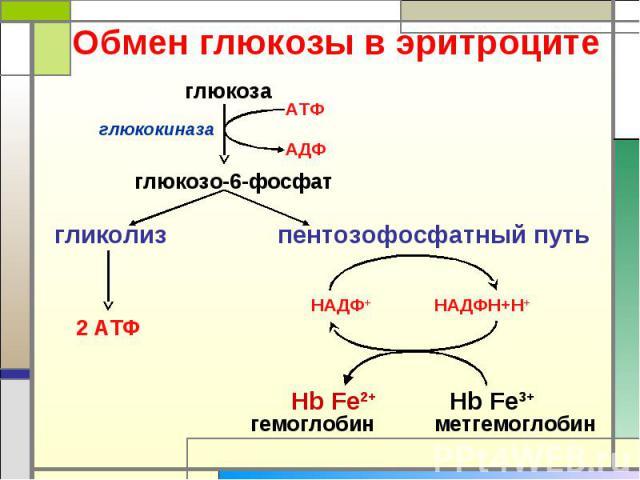Обмен глюкозы в эритроците