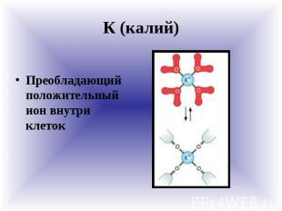 К (калий) Преобладающий положительный ион внутри клеток