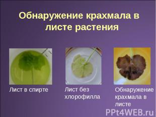 Обнаружение крахмала в листе растения Лист в спирте Лист без хлорофилла Обнаруже