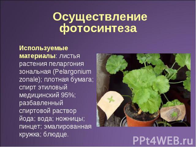 Осуществление фотосинтеза Используемые материалы: листья растения пеларгония зональная (Pelargonium zonale); плотная бумага; спирт этиловый медицинский 95%; разбавленный спиртовой раствор йода; вода; ножницы; пинцет; эмалированная кружка; блюдце.