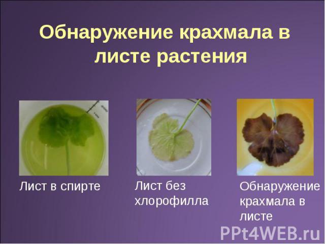 Обнаружение крахмала в листе растения Лист в спирте Лист без хлорофилла Обнаружение крахмала в листе