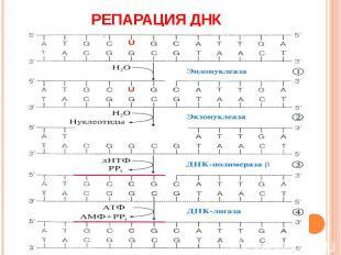 Репарация ДНК