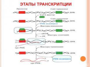 Этапы транскрипции